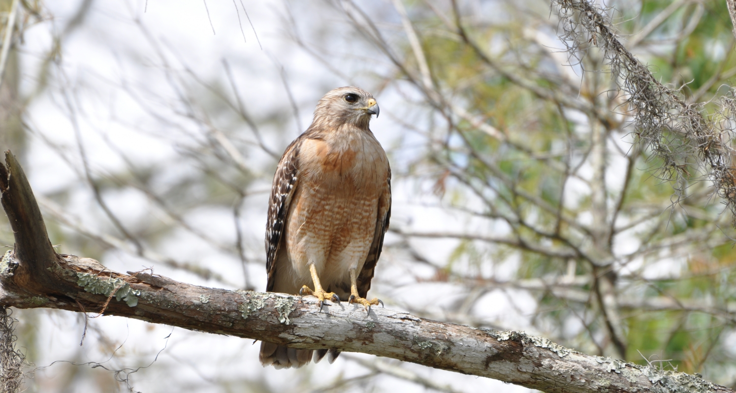 Red Shouldered Hawk seen on Jeep Tour