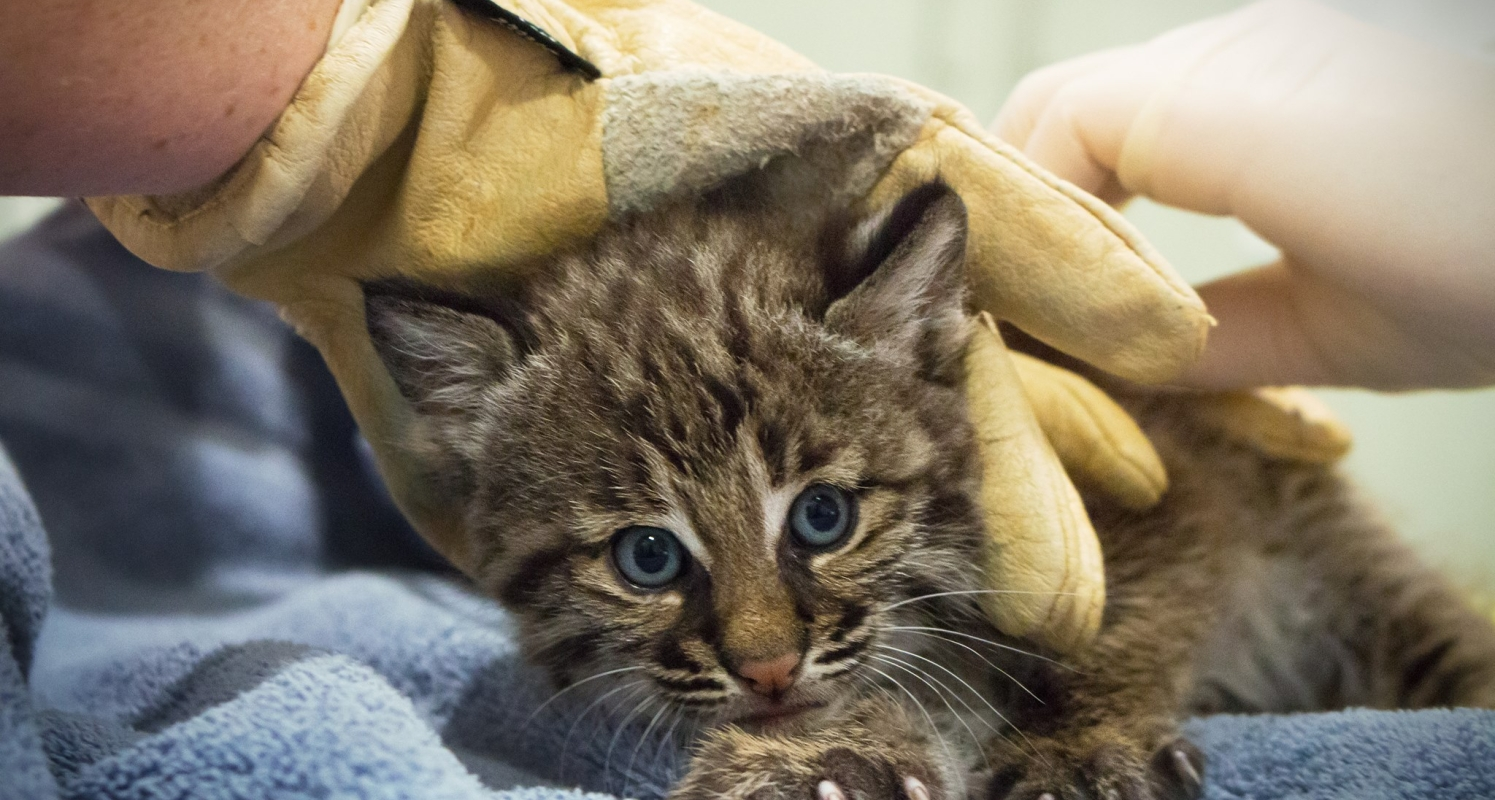 Learn how the Conservancy cares for injured native wildlife.