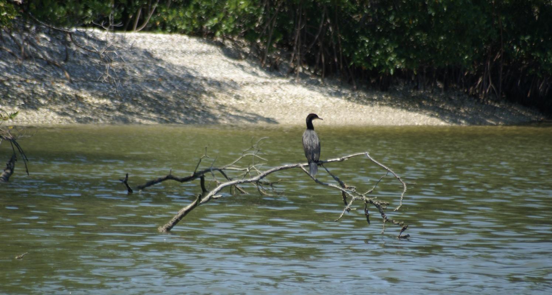 Resting on the mangroves