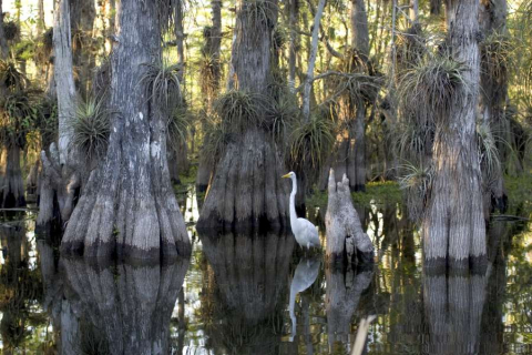 An egret stretches its legs at Big Cypress National Wildlife Refuge.