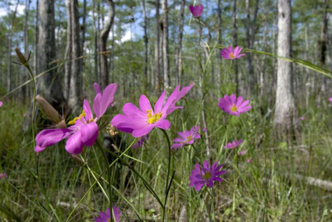Purple flowers in a natural area of the Florida Everglades.
