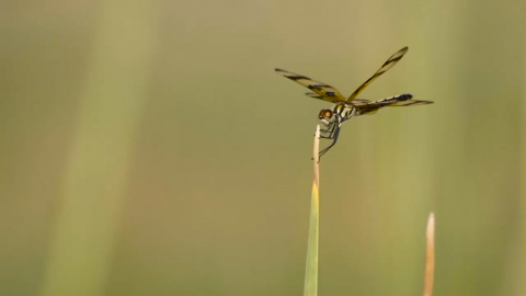 A dragonfly lands on a blade of grass in the Florida Everglades.