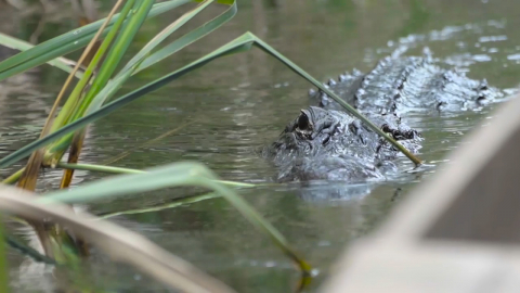 An alligator lurks in the water in the Florida Everglades.