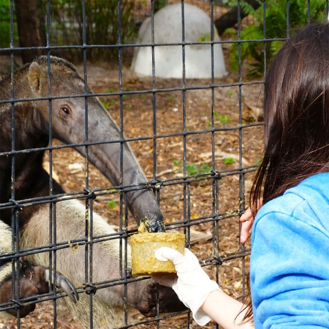 Experience a wild encounter with an Anteater at Naples Zoo.
