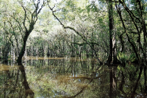 A mangrove forest in Everglades National Park.
