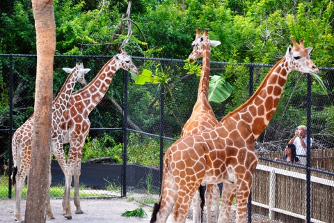 Giraffes at the Naples Zoo.