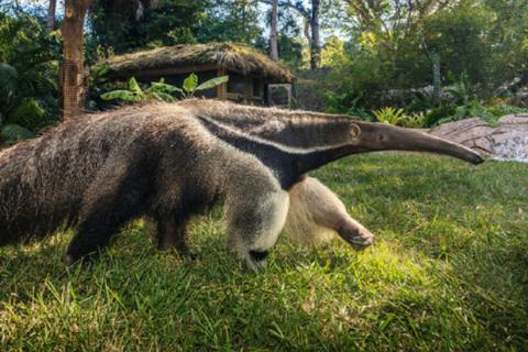 Black and White Tegu Encounter at Naples Zoo