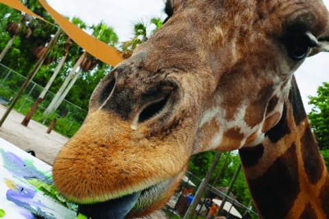 Giraffe Wild Encounter at Naples Zoo