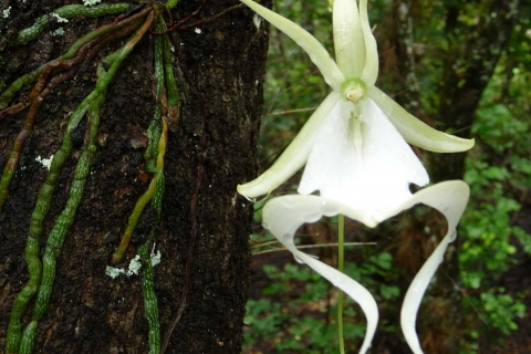 The magnificent Ghost Orchid