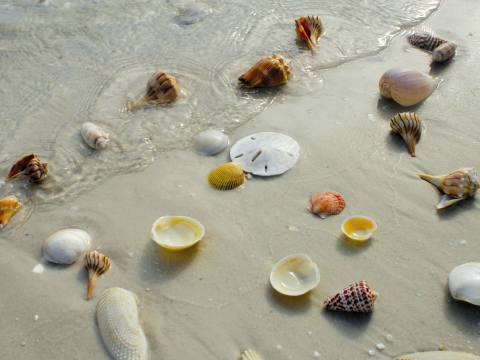 Shelling on Naples & Marco Island Beaches