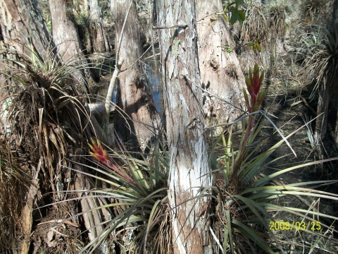 Bromeliad in Cypress Tree