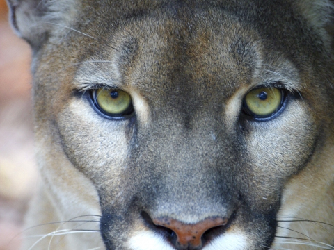 Florida Panther Festival at Naples Zoo