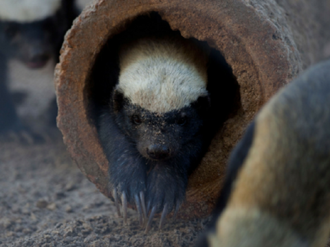 Honey Badger Encounter At Naples Zoo
