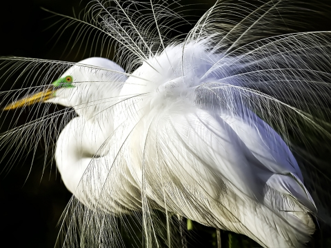 Breeding Great Egret Plummage - Morris Herstein