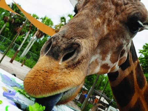 Giraffe Wild Encounter at Naples Zoo