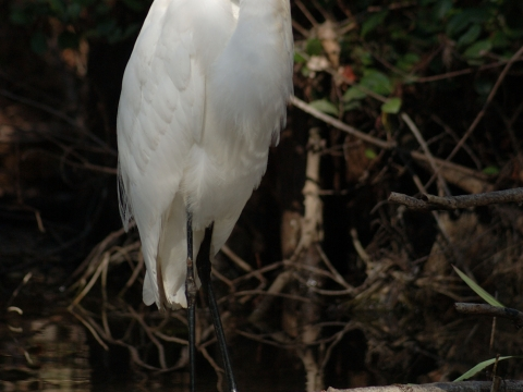 Majestic egrets are common in the Everglades.