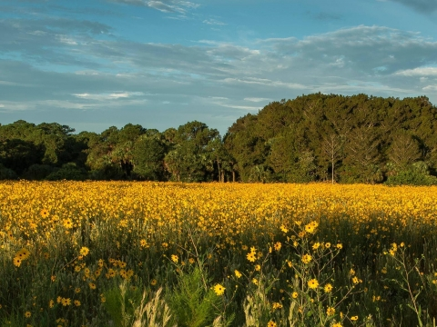 Sunflowers in bloom at Pepper Ranch Preserve