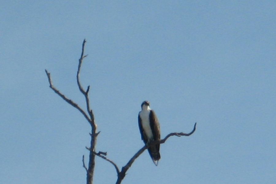 Osprey sighting on the waverunner tour.