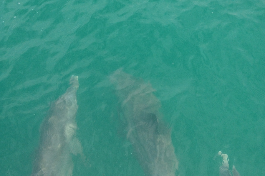 Dolphins guiding our sail.  We usually have visits from these wonderful friends!