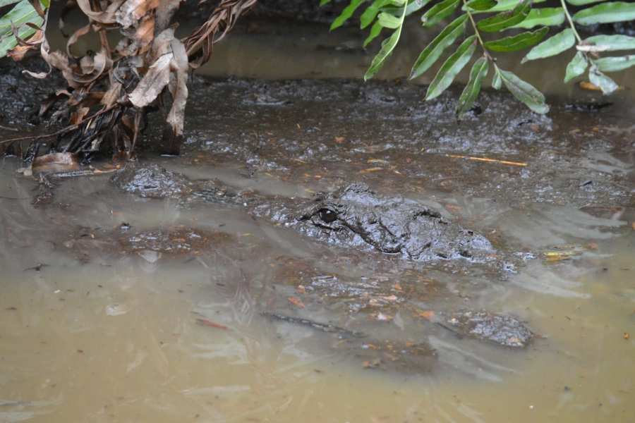 Using mud to control its body temperature this gator is barely visible to humans.