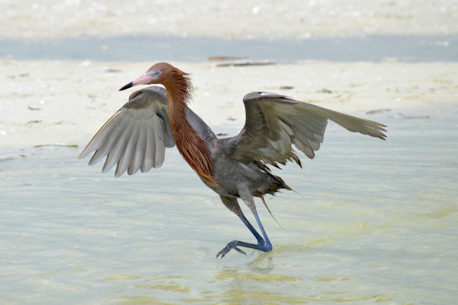 A Reddish Egret dances for its dinner along the shoreline.