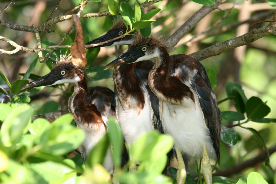 Quiet exploration allows access to wondrous sights and sounds. Tri-Colored Heron babies.