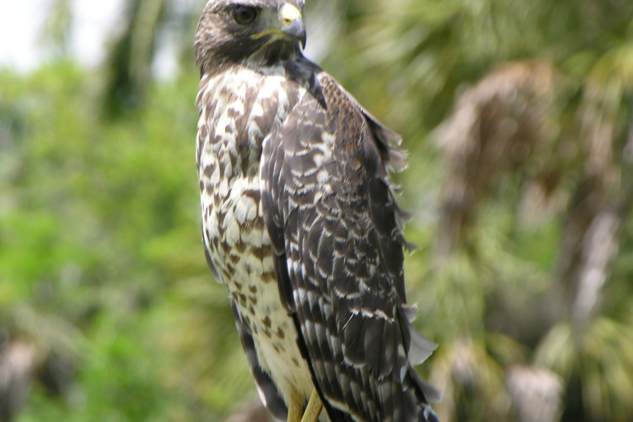 Red Shouldered Hawks are often seen in the park.