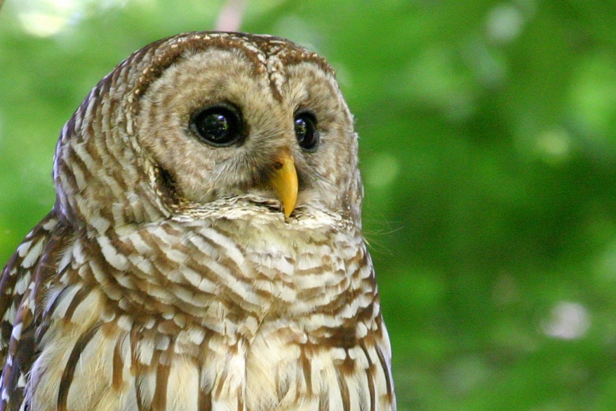 Barred owl at Bird Rookery Swamp (by George Luther)