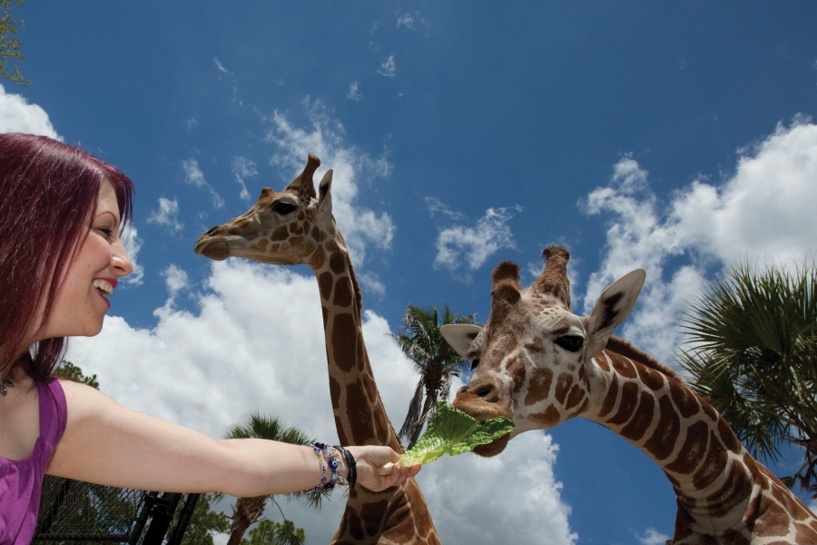 A guest hand-feeds one of the seven giraffe at Naples Zoo.