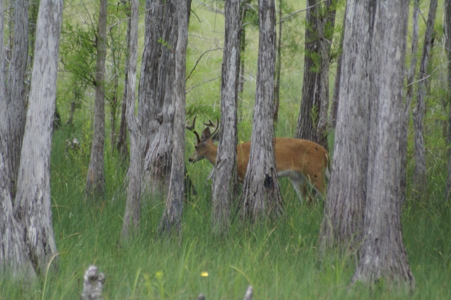 Buck in Big Cypress Swamp