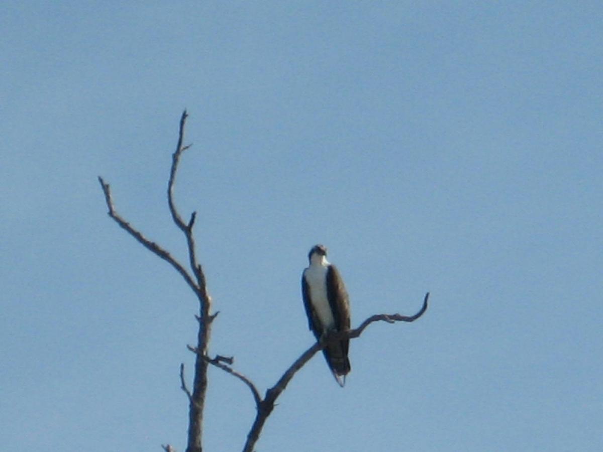 Osprey sighting on the waverunner tour.