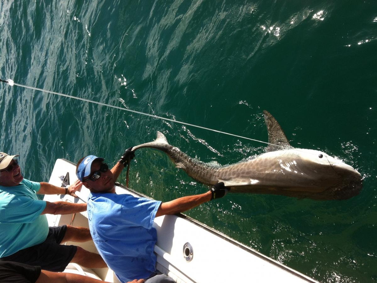 Naples Tiger Shark