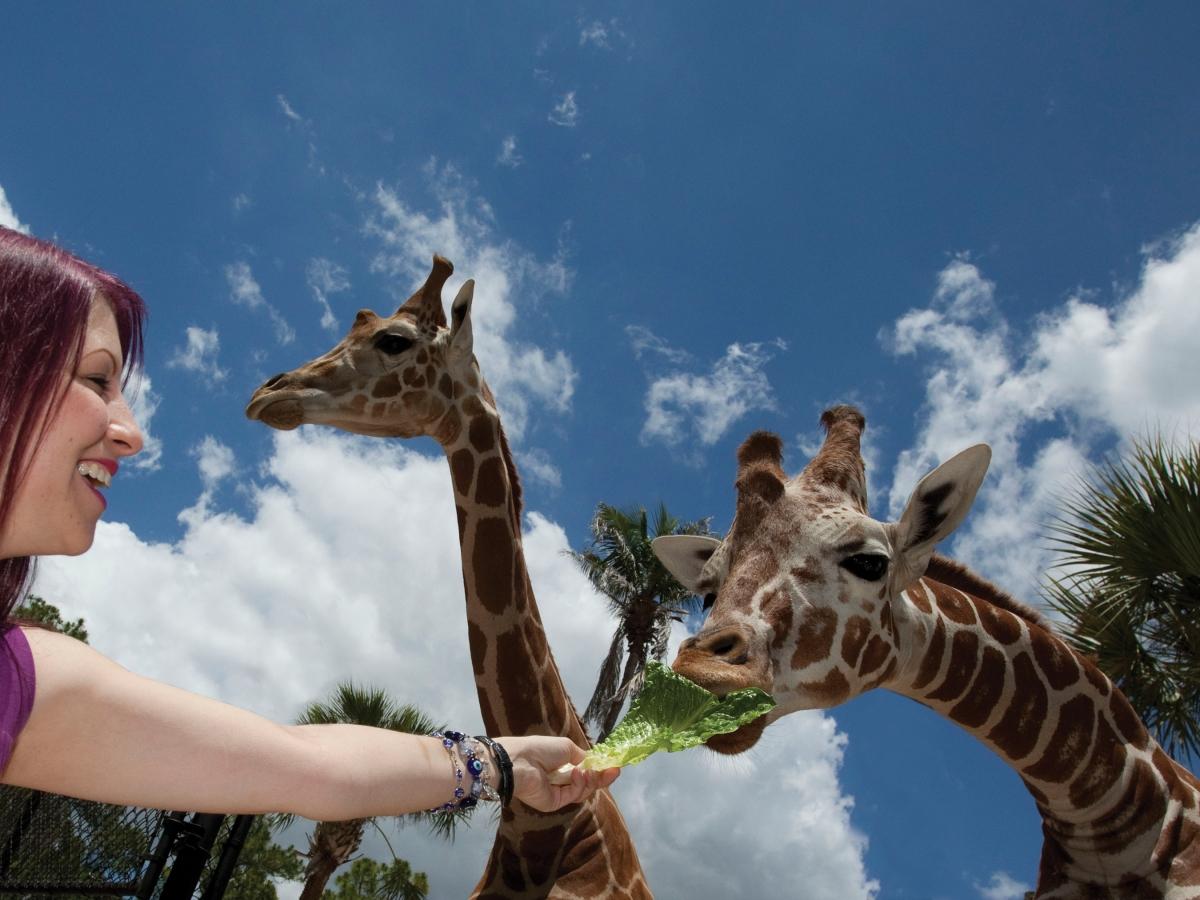 A guest hand-feeds a giraffe at Naples Zoo.