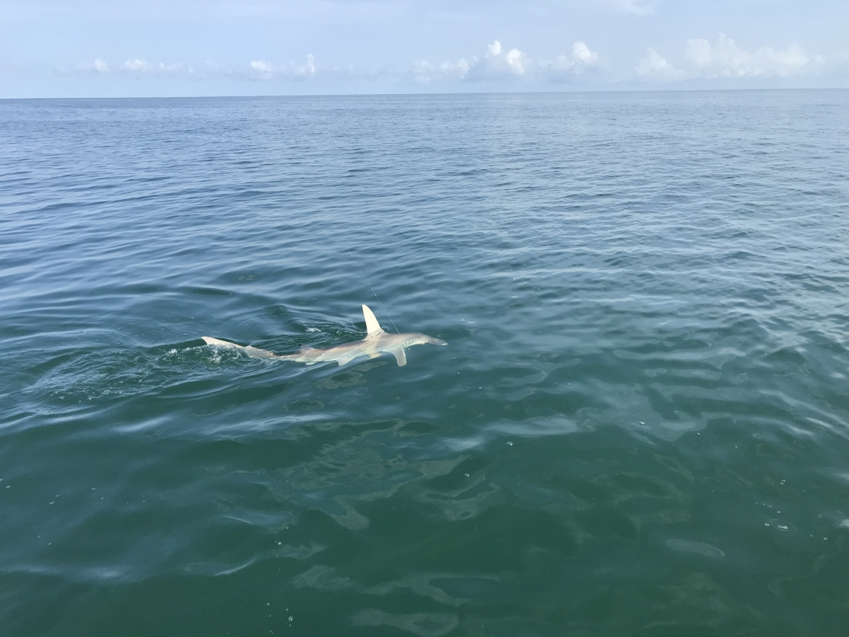 Shark fishing off the coast of Naples