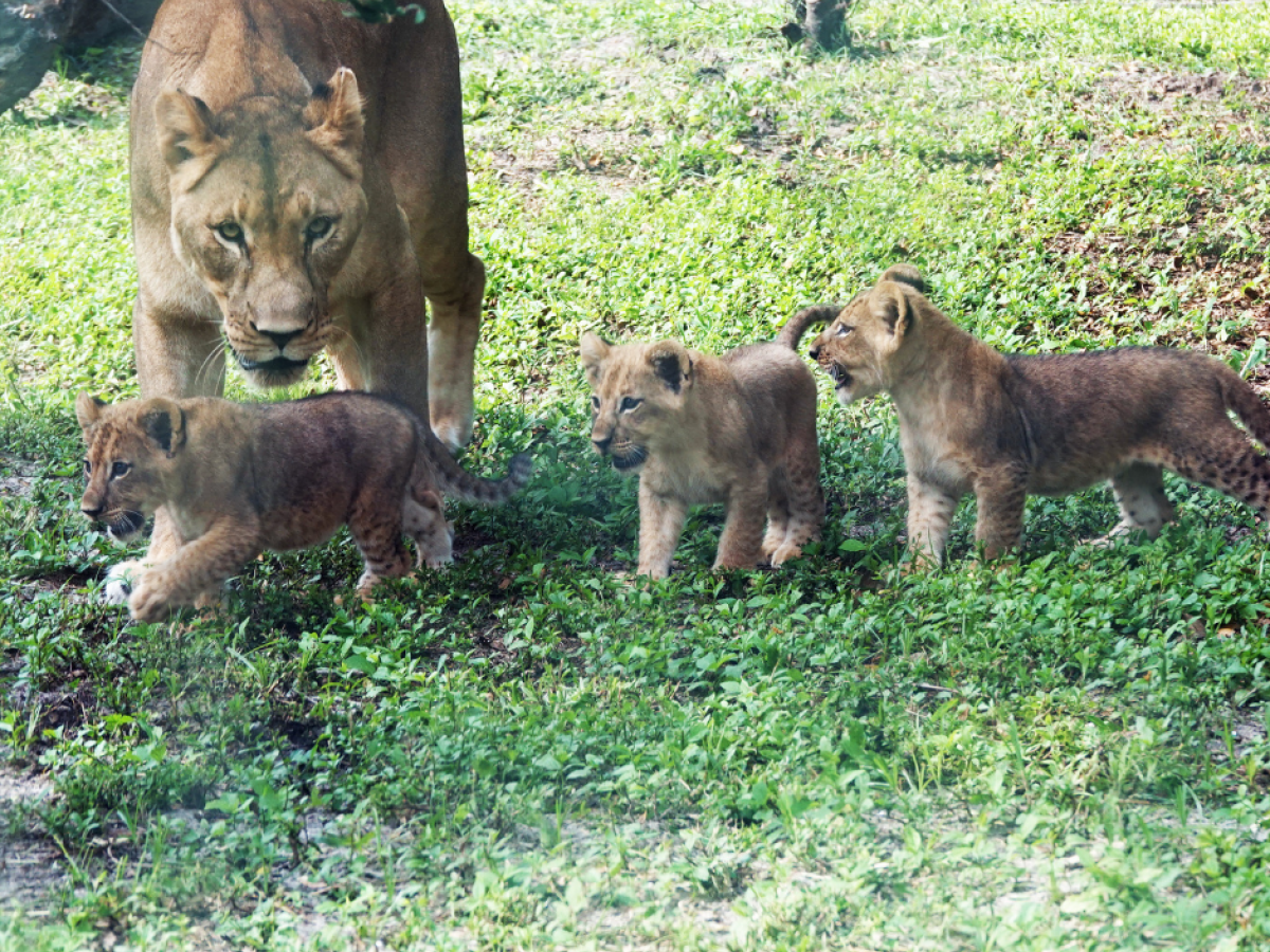 Meet the African Lion Cubs at Naples Zoo | Naples, Marco