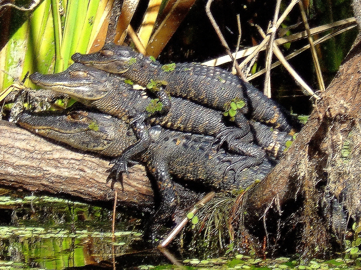 Baby alligators like to hang out together.  :)