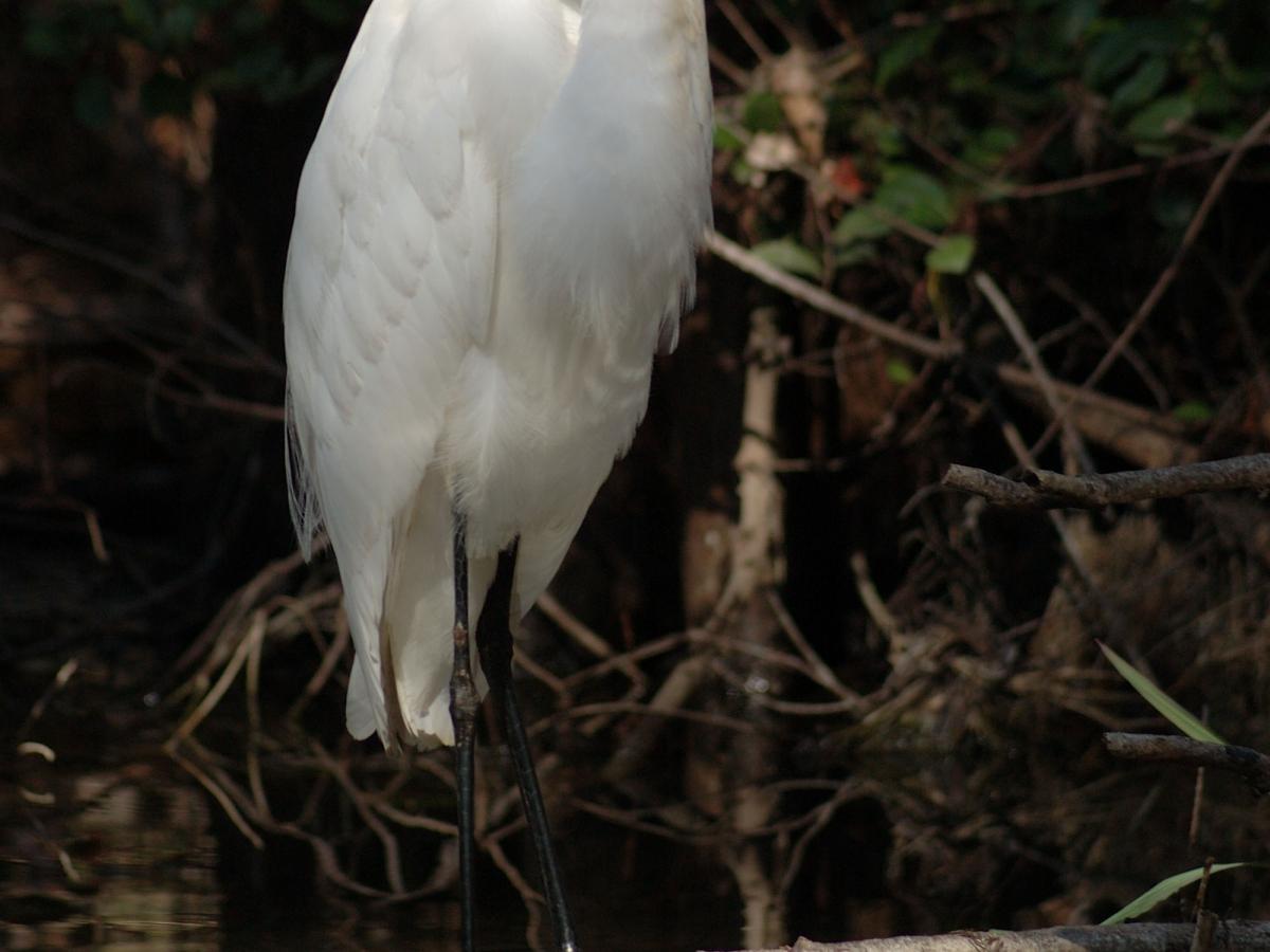 Majestic egrets are common in the Everglades.