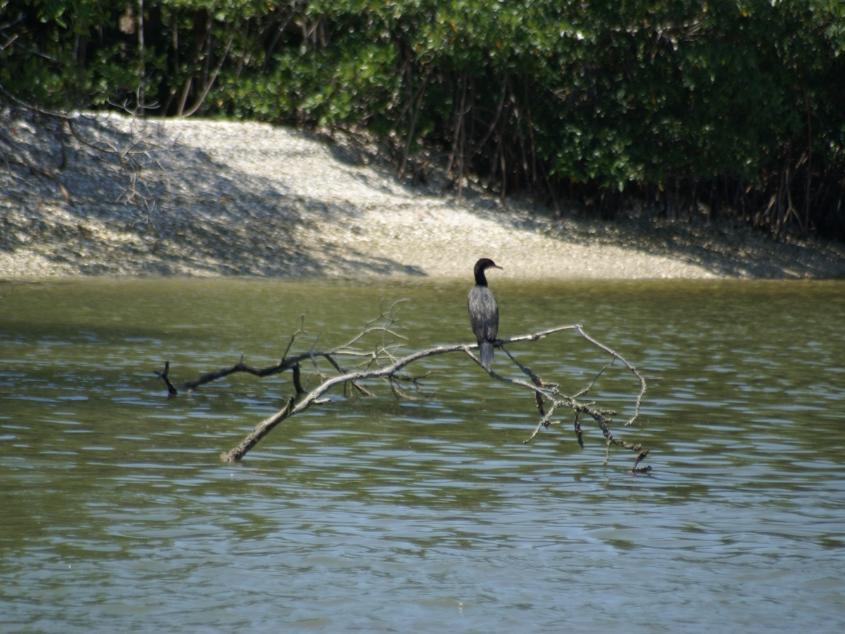 Resting on the mangroves